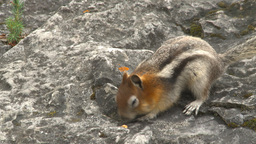 HD2009-8-2-7 16banded squirrel Stock Video Footage