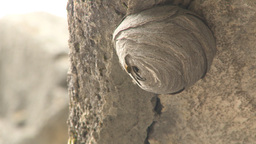 HD2009-8-4-5 wasp nest cliff Stock Video Footage