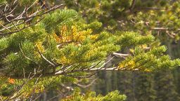 HD2009-8-10-10 tree branch fir CU Stock Video Footage