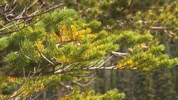 HD2009-8-10-10 tree branch fir CU Stock Video Footage