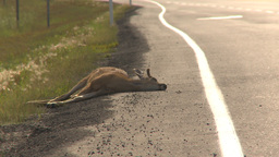 HD2009-8-13-1 road kill deer Footage