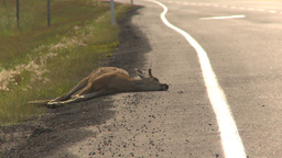 HD2009-8-13-1 road kill deer Stock Video Footage