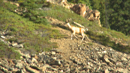 HD2009-8-14-5 deer on rocky slope Footage