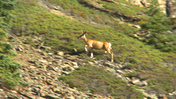 HD2009-8-14-5 deer on rocky slope Stock Video Footage