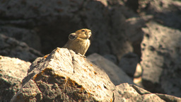 HD2009-8-21-9 pika Stock Video Footage