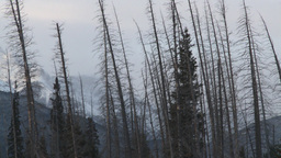 HD2009-1-1-17 dead trees snow Banff Stock Video Footage