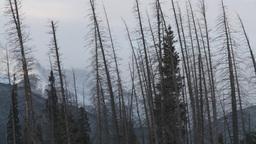 HD2009-1-1-17 dead trees snow Banff Footage