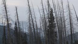 HD2009-1-1-17 dead trees snow Banff Stock Video Footage