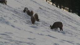 HD2009-1-1-50 Banff snow mountain sheep Stock Video Footage