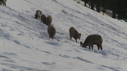 HD2009-1-1-50 Banff snow mountain sheep Footage