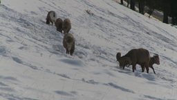 HD2009-1-1-50 Banff snow mountain sheep Stock Video Footage