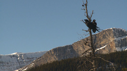 HD2009-1-7-6 ravens in tree Stock Video Footage