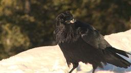 HD2009-1-7-8 raven eats snow Stock Video Footage