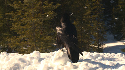 HD2009-1-7-10 raven on snow flies off Footage