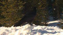HD2009-1-7-10 raven on snow flies off Stock Video Footage