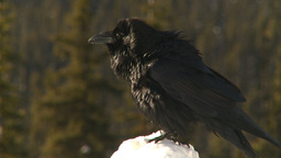 HD2009-1-7-20 raven on skow flies off Footage
