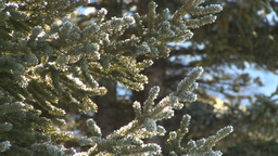 HD2009-1-7-24 water dripping off snow covered tree Stock Video Footage