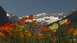 HD2009-7-9-3 Lake Louise poppies Stock Video Footage