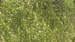 HD2009-7-9-9 quaking aspen Stock Video Footage