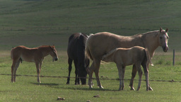 HD2009-7-10-16RC horse and colts nursing Footage