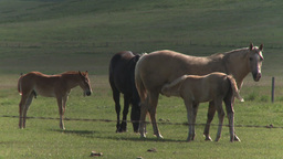 HD2009-7-10-16RC horse and colts nursing Stock Video Footage