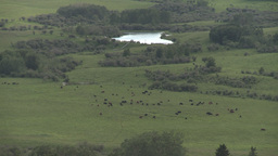 HD2009-7-10-28RC cattle at bottom of valley Footage
