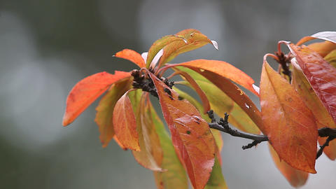 plum leaves in fall Footage