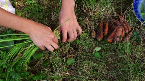 Harvest carrots Footage