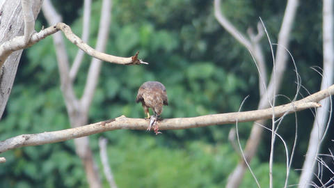 Brahminy Kite stock footage