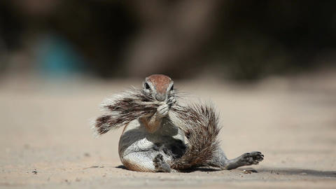 African Ground Squirrel stock footage