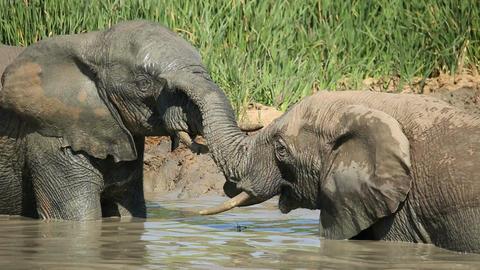 African elephants in waterhole Footage