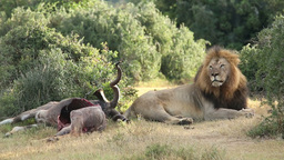 African lion with prey Footage