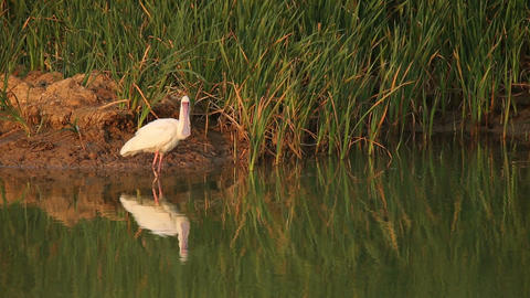 African Spoonbill stock footage