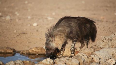 Brown hyena drinking water Footage