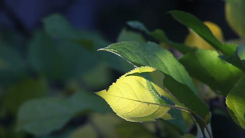 Backlit Autumn Leaf stock footage