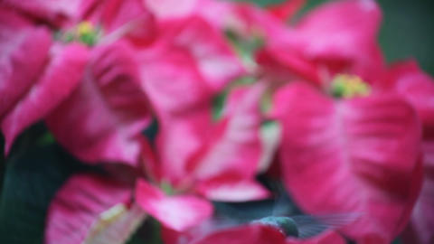 hummingbird in Christmas poinsettias Footage