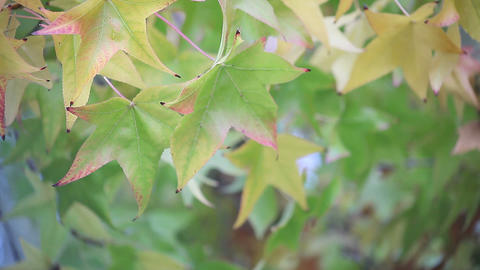 Changing Leaves stock footage