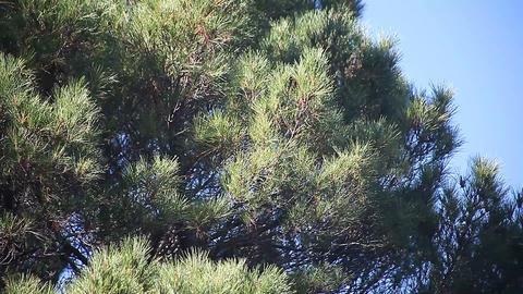 Pine Tree stock footage