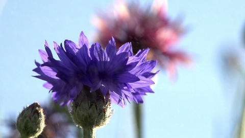 Cornflowers in the Water Particles Footage