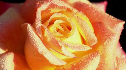 Orange Rose in Dewdrops Footage