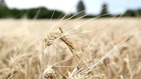 Single wheat stalk swaying Footage