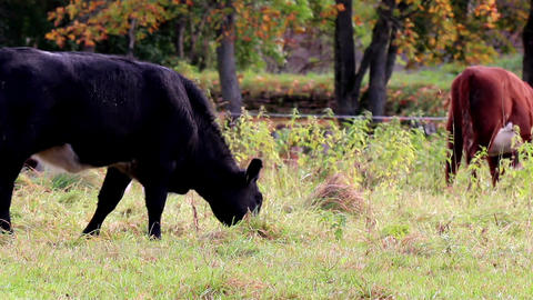 Cows grazing in the meadow Footage