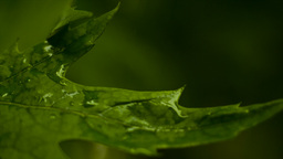 Extreme Close Up On Green Wet Leaves stock footage