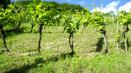 Wide Shoot Sliding Vineyard Plantation On Sunny Da stock footage