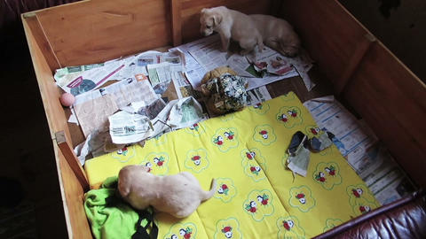 Three Labrador Retriever Puppies in pen box Footage