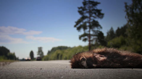 Two Family Cars Passed By Dead Animal Raccoon Dog  stock footage