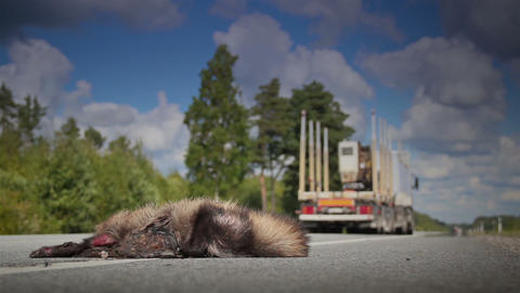 Forest truck passed by a dead animal Raccoon dog b Footage
