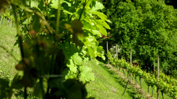 Sliding Through Vineyard Plantation stock footage