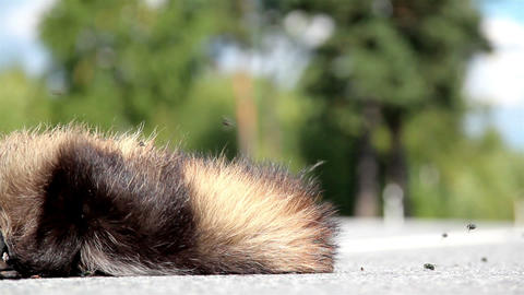 Cars passed by dead animal Raccoon dog body swamre Footage
