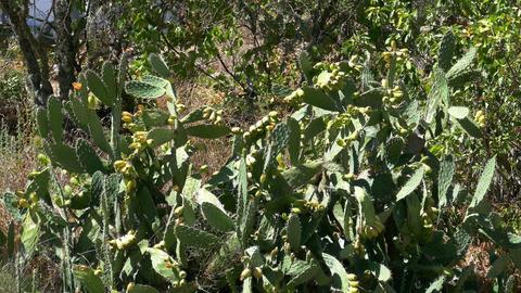 Opuntia Ficus - Indica Footage